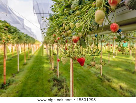 Outdoor substrate cultivation of strawberries under plastic film on a for the pickers ergonomic height at a specialized grower in the Netherlands.