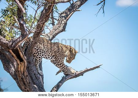 Leopard Looking Down From A Tree.