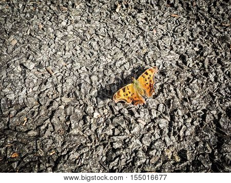 Comma Butterfly alight on a gravel surface