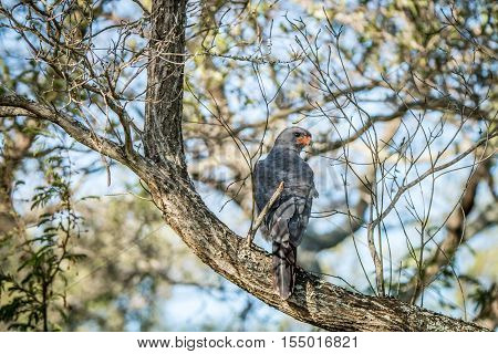 Dark Chanting Goshawk Sitting On A Branch.