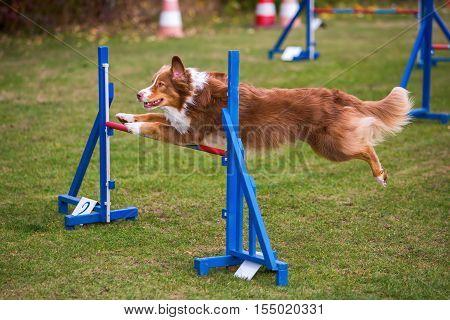 Dog Jumps Over A Hurdle