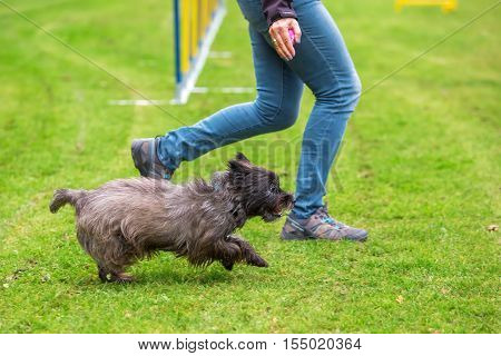 Agility Training With A Terrier