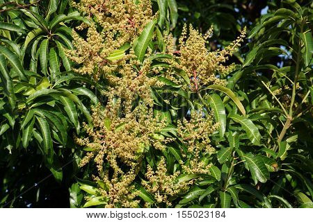 Close-up of Tree beginning to bloom with Buds Leafs and branches of a mango tree