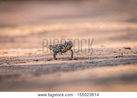 Flap-necked Chameleon Walking In The Sand.