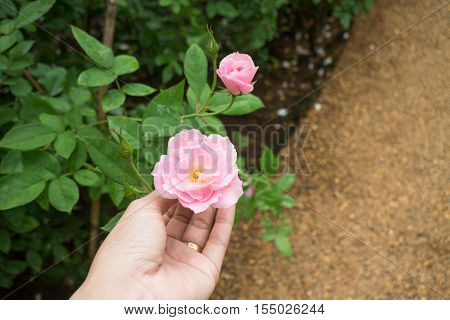 Hand on pink rose in the garden stock photo