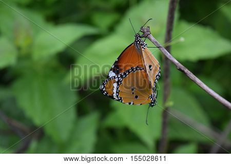 Butterfly Mating On Green Background