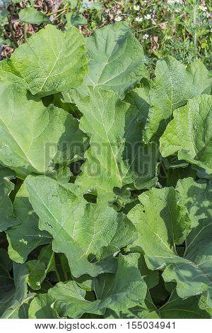 The arachnoid burdock (Arctium tomentosum) the leaves of the plant closeup. Wild medicinal plants of Siberia