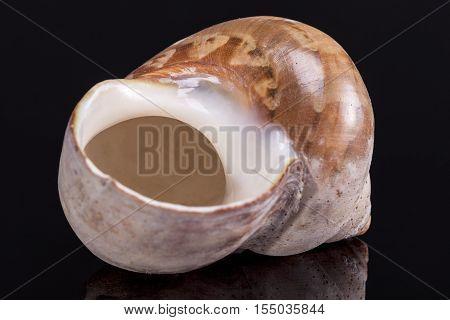 Single sea shell of marine snail isolated on black background .