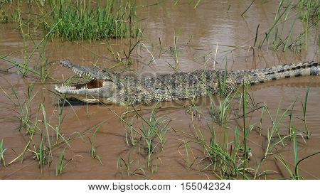 The yawning Nile crocodile in Chamo lake Nechisar national park Ethiopia