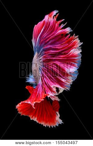 Red and white tail siamese fighting fish half moon betta fish isolated on black