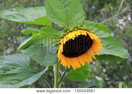 Large Sunflower, with heavy head tipped downwards, a favorite  in anyone's landscaped garden.