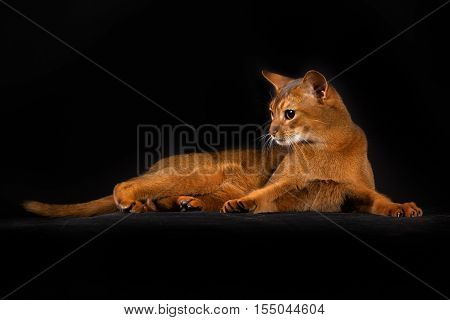Purebred Somali Cat Isolated On Black Background