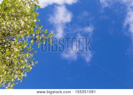 The blossoming acacia branches against the background of the blue sky. Acacia at the left copyspace on the right