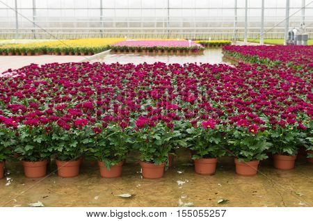 cultivation of flowers in a commercial greenhouse in the netherlands