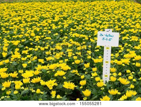 blooming bright yellow flowers in a commercial greenhouse in the netherlands