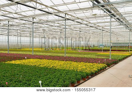 interior of a greenhouse growing flowers in the netherlands