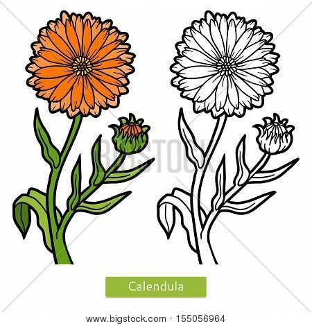 Coloring book for children, orange flower Calendula