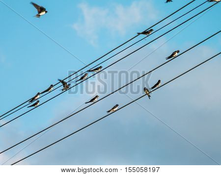 Flock of swallows sitting on a utility pole wiring