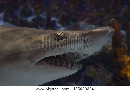 An adult shark swimming in the tank