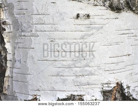 birch bark texture natural background paper close-up / birch tree wood texture / birch tree bark / pattern of birch bark / birch bark closeup / natural birch bark background / birch bark