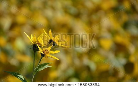 Jerusalem Artichoke Flowers against an autumnal background of a browning soya bean field.