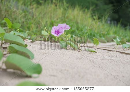 Ipomoea pes-caprae or Beach Morning Glory are blooming on the thailand beach