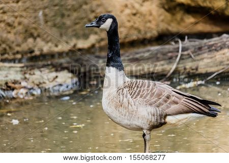 Gray wild geese in pound  in zoo