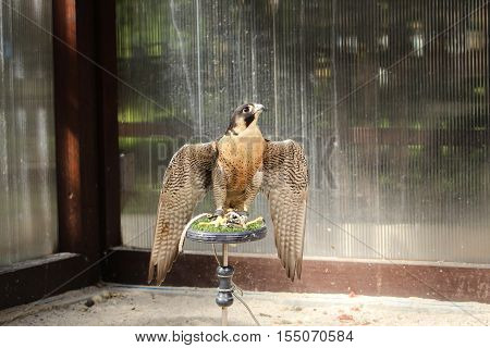 Peregrine falcon / This is a slightly injured falcon in rescue station.
