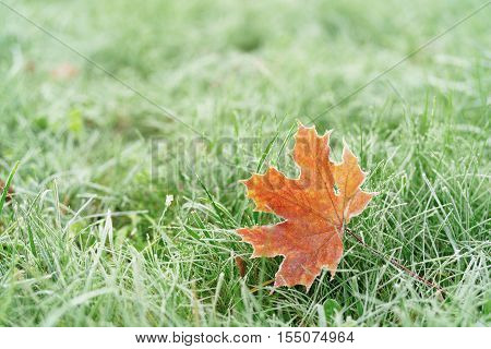 frozen maple leaf on th ground in frosty morning, shallow focus