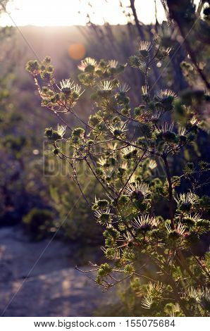Back lit flowers of the myrtle Darwinia fascicularis, Royal national park, New South Wales, Australia