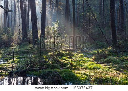 Natural coniferous stand of Landscape Reserve in morning with sunlight entering, Bialowieza Forest, Poland, Europe