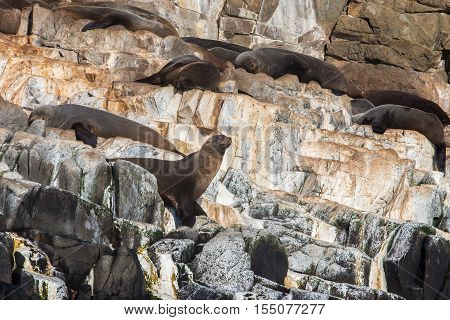 A colony of Australian fur seals (Arctocephalus pusillus doriferus) sunbathing at the Friars near Bruny Island