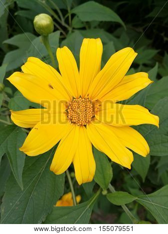 Mexican sunflower (Tithonia diversifolia) is a species of flowering plant in the Asteraceae family, known as Da Quy flower in Vietnamese.