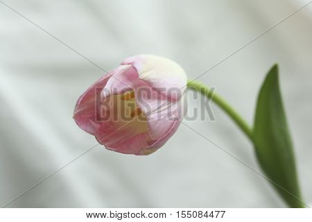 pink tulip birthday, name day, mother's day, valentine's day