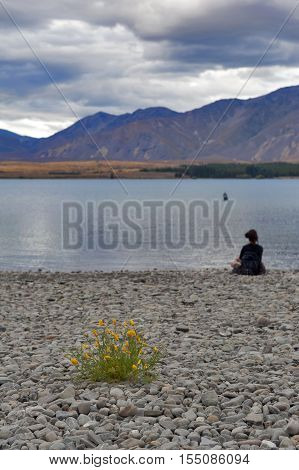 Tekapo, New Zealand - February 2016: Yellow Flowers Grown By Lakeside At Lake Tekapo, South Island O