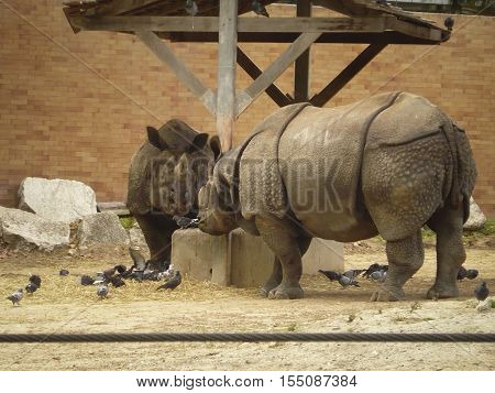 white rhinoceros couple have a snack, pigeons peck their side
