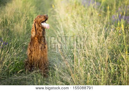 Beautiful panting Irish Setter dog sitting in the field in summer