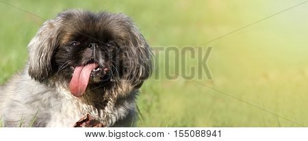 Web banner of a happy dog as panting in a hot summer