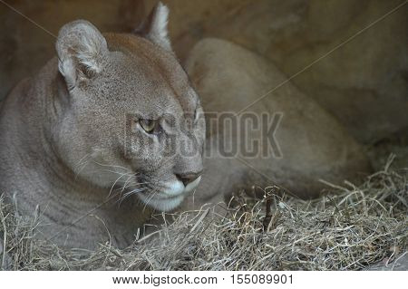 Close up of a puma in a cave