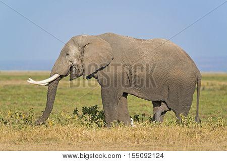 African elephant male in long grass of Masai Mara Kenya