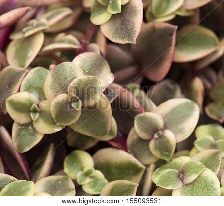 Crassula Marginalis Fleshy Leaves