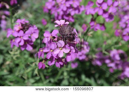 Close up of the Beautiful purple Erysimum Bowles Mauve