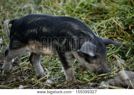 Mangalitza pig piglet of the Hungarian pig breed