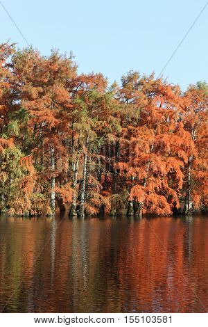 Bald cypress in a lake in Autumn