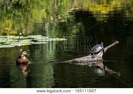 Hamburg City Park Green pond river water Turtle and duck