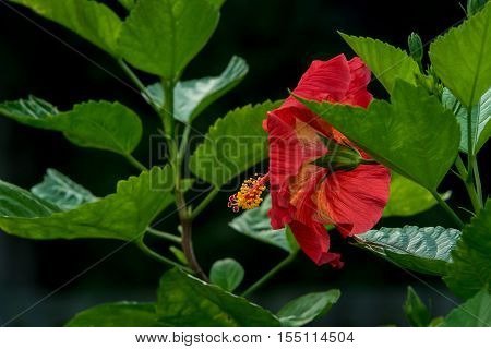 Close-up of a beautiful red Summer hibiscus