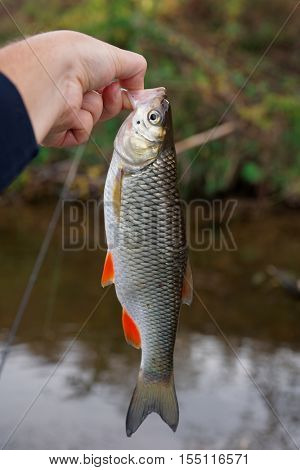 Chub in fisherman's hand, autumn scenics