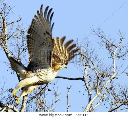 Hawk Taking Flight