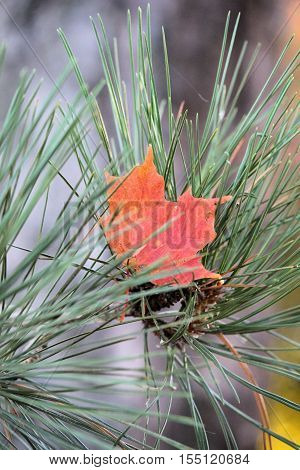 red maple leaf nestled in the pine needles