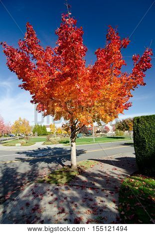 Highlighted Red Maple On The Corner